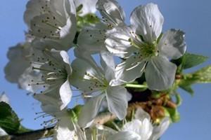 fleurs de cerisier © Secrets de plantes