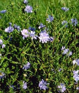 Chicorée © Secrets de plantes