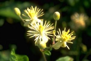 clématite © Secrets de plantes