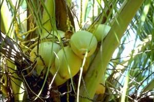 Cocotier © Secrets de plantes
