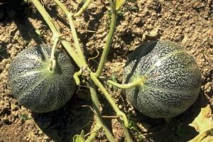 Melons © Secrets de plantes