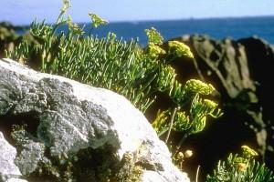 Criste marine © Secrets des plantes