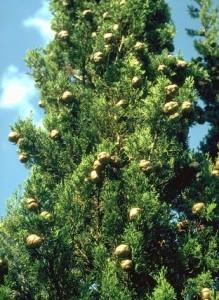 Cyprès © Secrets de plantes