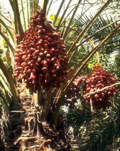 Palmier dattier © Secrets de plantes