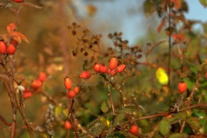églantier © Secrets de plantes