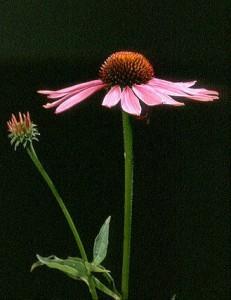 échinacée © Secrets de plantes