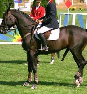 concours hippique, cheval mâle
