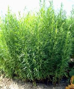 estragon © Secrets de plantes
