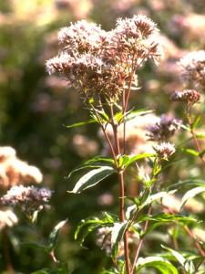 Eupatoire chanvrine © Secrets de plantes