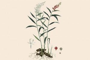 Galanga © Secrets de plantes
