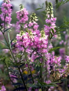 Galega © Secrets de plantes