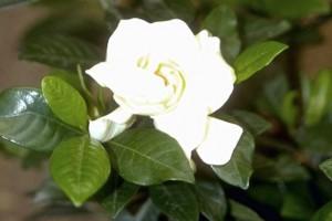 Gardénia © Secrets de plantes
