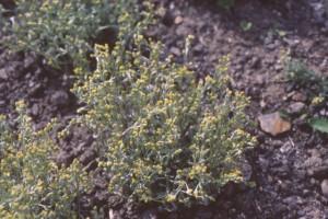Génépi © Secrets de plantes
