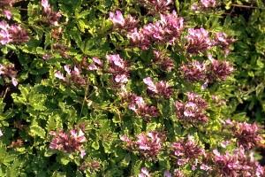 Germandrée petit chêne © Secrets de plantes
