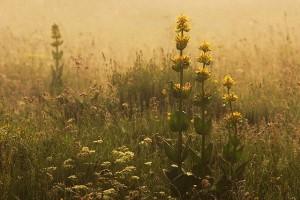 Grande gentiane © Secrets de plantes