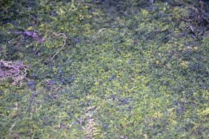 Herniaire © Secrets de plantes