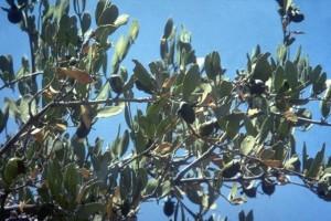 Jojoba © Secrets de plantes