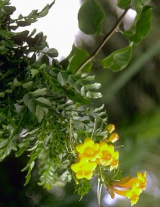 Lapacho © Secrets de plantes
