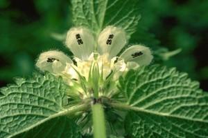 lamier  blanc © Secrets de plantes