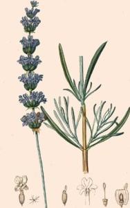 plante céphalique