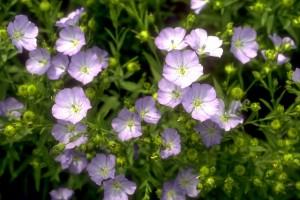 fleurs de lin © Secrets de plantes