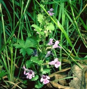 Lierre terrestre © Secrets de plantes