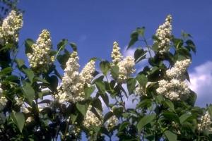 Lilas © Secrets de plantes