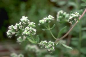Marjolaine © Secrets de plantes