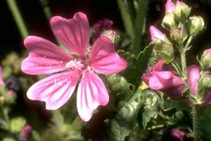 Mauve © Secrets de plantes