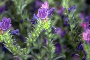 Orcanette © Secrets de plantes