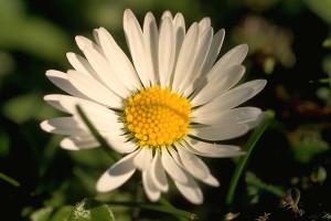 Pâquerette © Secrets de plantes