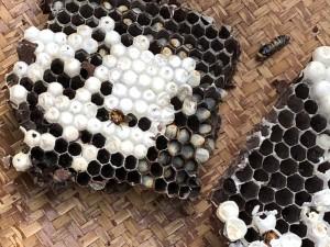 nids de frelons