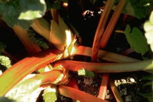 Rhubarbe © Secrets de plantes