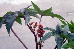 Ricin © Secrets de plantes