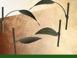 Insertion des feuilles sur la tige