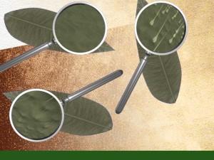 feuilles pubescentes ou non