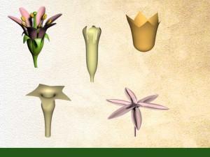 les types de fleurs à symétrie axiale