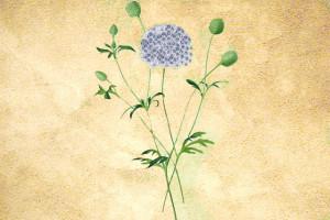 Apiaceae ou ombellifères