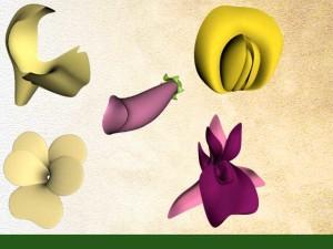 Fleurs à symétrie bilatérale