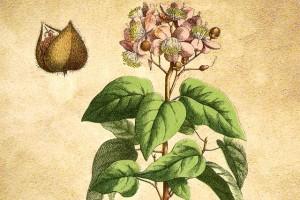 Bixaceae
