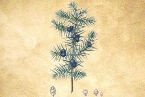 Cupressaceae