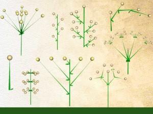 Disposition des fleurs pédonculées