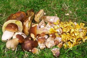 Cueillette de champignons