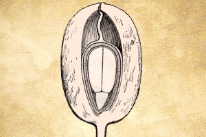 Eleagnaceae
