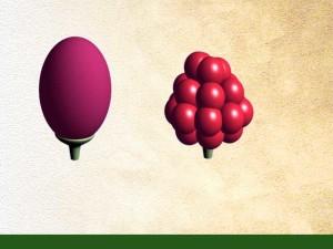 Fruit simple et fruit composé