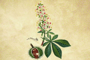 Hippocastanaceae