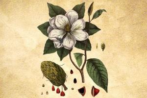 Magnoliaceae