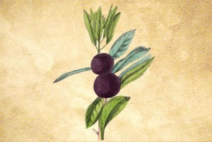 Myricaceae