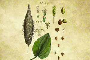 Plantaginaceae