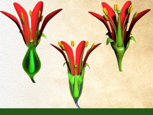 Position de l'ovaire dans la plante